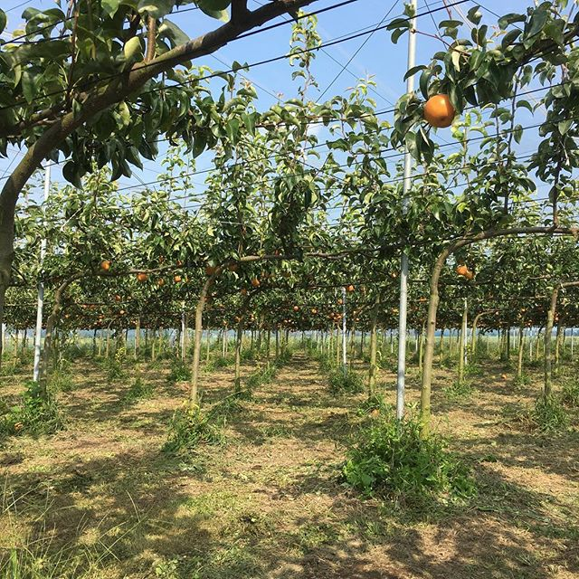 あきづき、南水、新高の収穫が始まります( ´ ▽ ` )是非直売所に足をお運びください!お待ちしています。