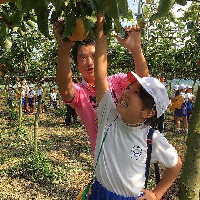 豊水梨を収穫しています。
